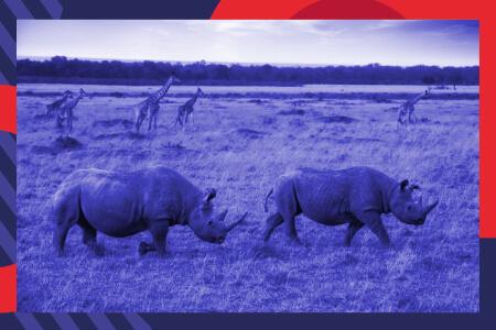 Des obligations financières au secours des rhinocéros